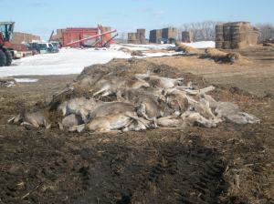 This is a pile of deer carcasses that were collected from our hay yard a few years ago. Approximately 60-80 deer in this group. We had hundreds in our yard, and many died that winter. To make a long story short, our hay was too rich for their system and we could get no help in dispersing them from our land.