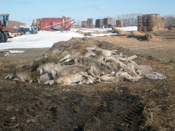 "This is a pile of deer carcasses that were collected from our hay yard a few years ago. Approximately 60-80 deer in this group. We had hundreds in our yard, and many died that winter. Less than a mile away was a parcel of land that was taken out of agriculture production specifically to provide habitat for wildlife. Yet it did nothing to ""conserve"" these animals."
