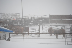 The cows stay where it's protected during the storm. Their instincts help keep them safe...usually.