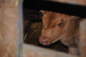 A peak at a new calf through the gate in the barn.