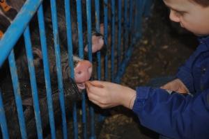 feeding pigs marshmallows