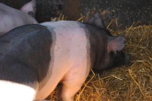 4-H project, black pig