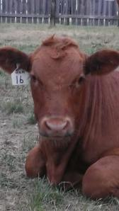 And this is the calf a few months later!