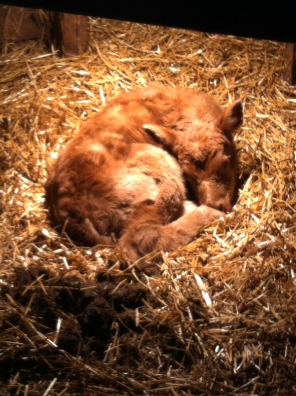 The first calf of the 2014 calving season is enjoying a little bit of time under the heat lamp. The next few months will be busy on the farm!