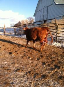 My next job was to bring the heifer down to the barn. Thankfully, she was pretty easy to bring in.