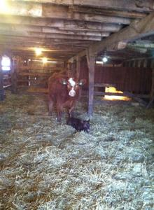 Success. Both in the barn, no injuries, no cold calf, and everyone happy.